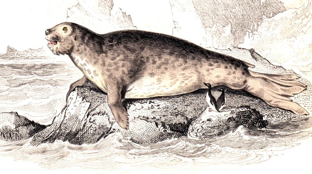 Jardine, Sir Wm / Lizars, Wm – Seals, Walruses, etc.