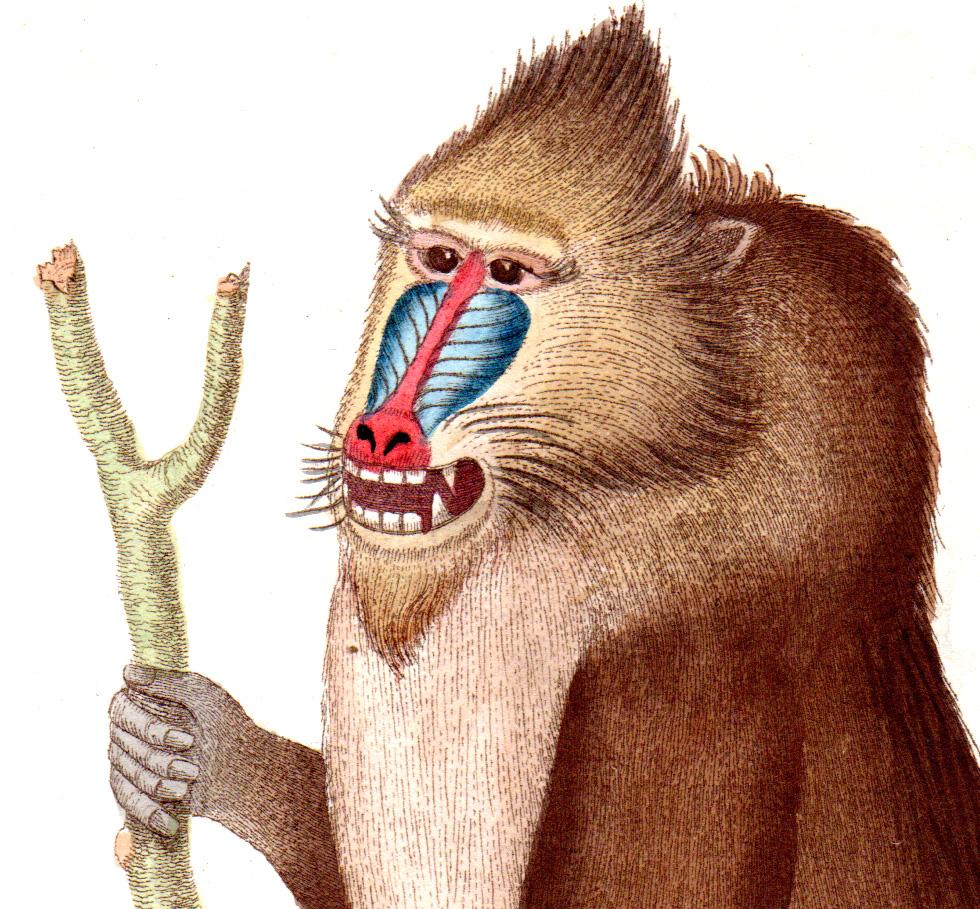 Shaw, George / Nodder, Frederick & Robert P. – Mammals