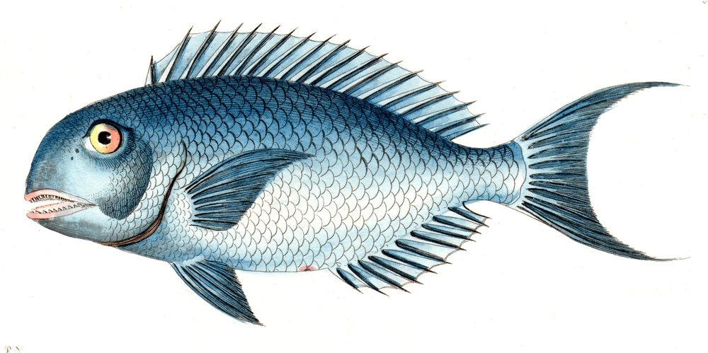 Shaw, George / Nodder, Frederick & Robert P. –Fish
