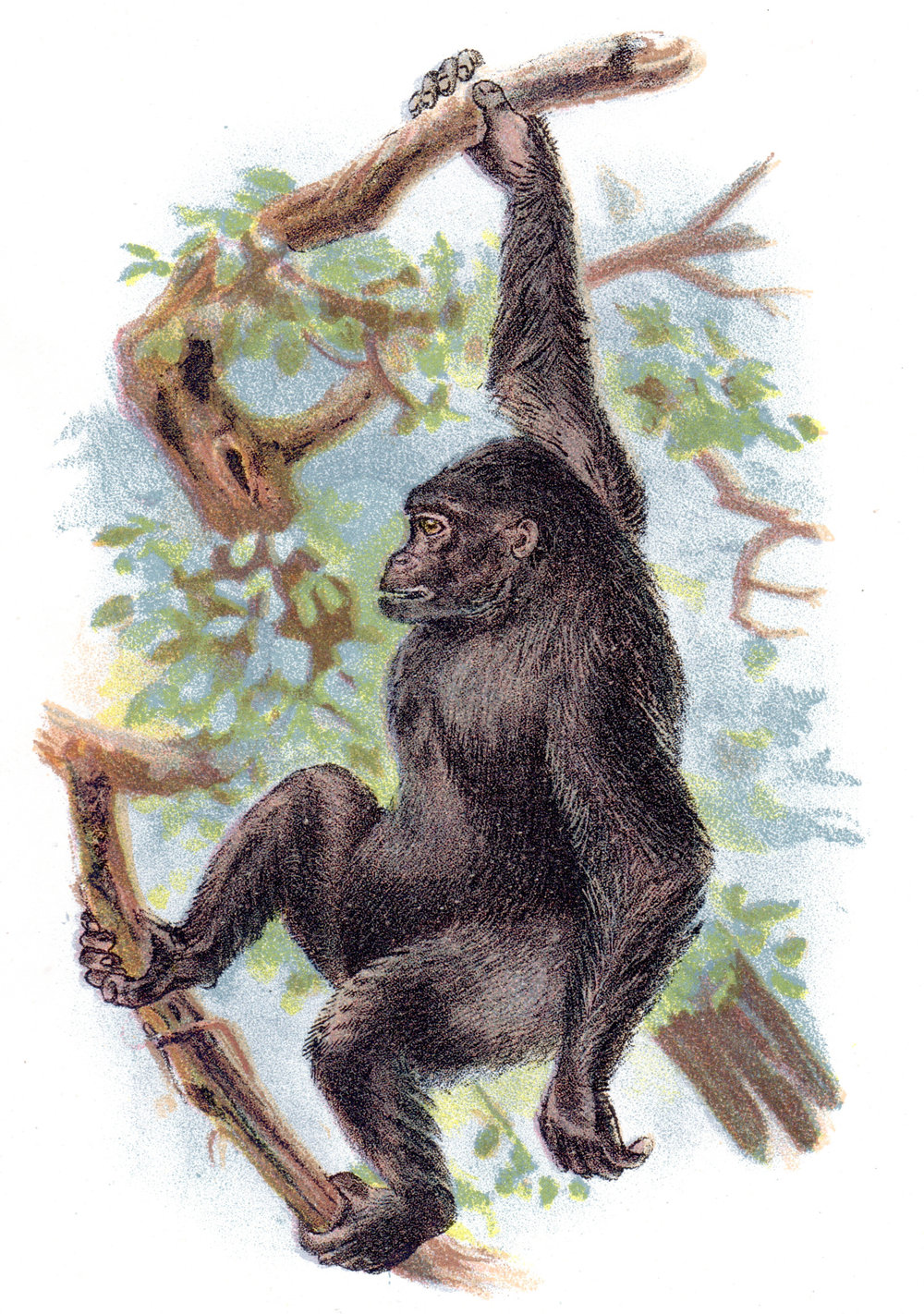 Wyman & Sons / Lloyd's Natural History –Monkeys, Apes, Primates