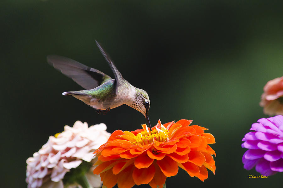 hummingbird-in-flight-with-orange-zinnia-flower-christina-rollo.jpg