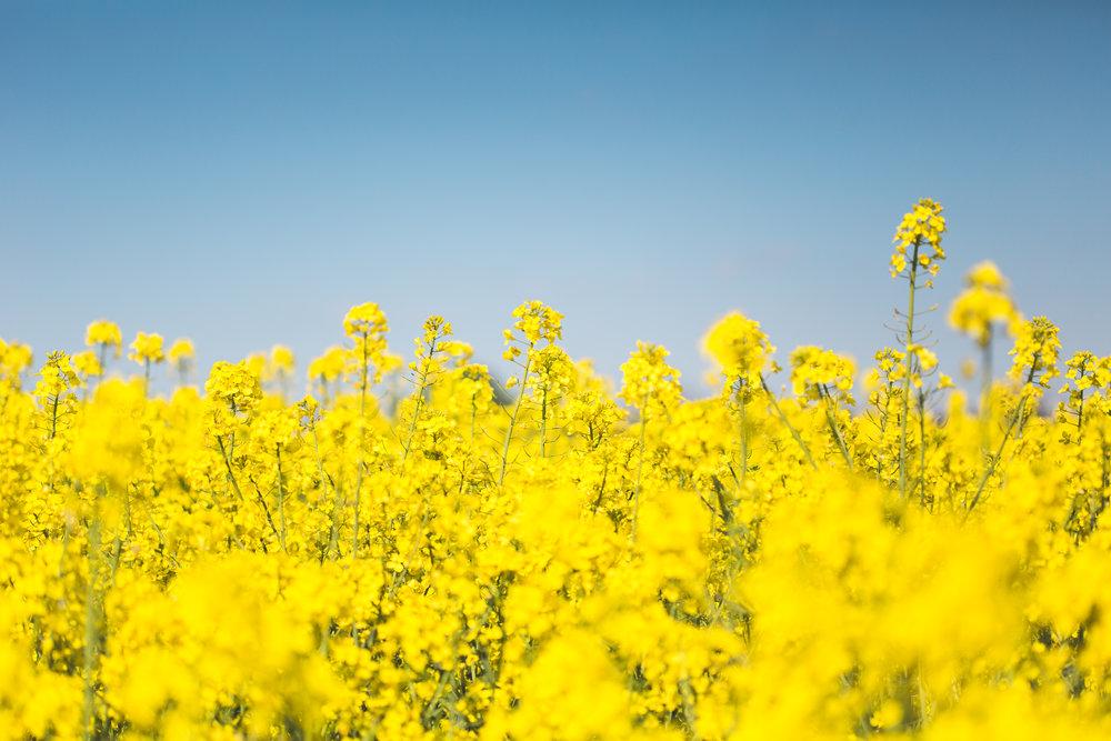 blooming-canola-rapeseed-field-picjumbo-com (1).jpg