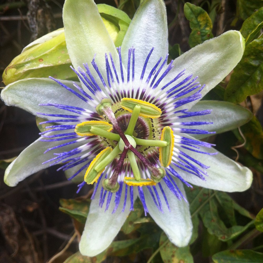 passionflower from julia's garden.jpg