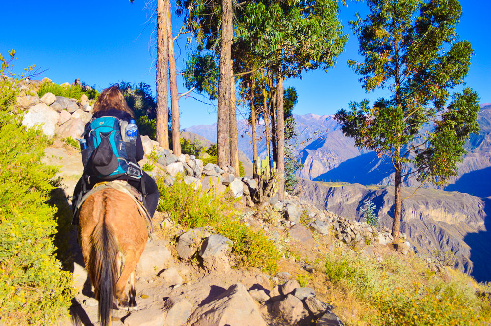 catching a mule taxi on day two out of the colca canyon