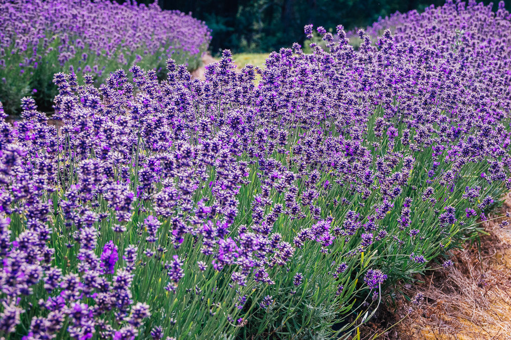 Who has the largest lavender farm in the world? Tasmania!