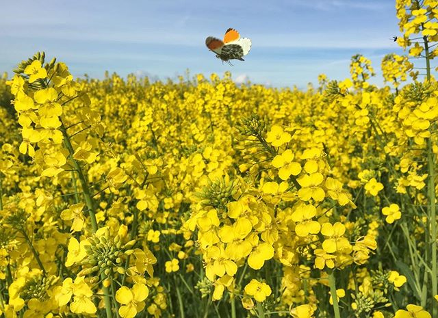 Spring time in Denmark. Yellow Tip butterfly in a rapeseed field.