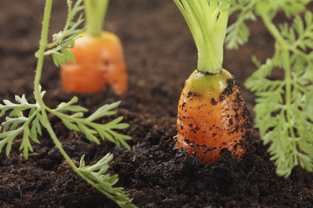 carrot sexy.jpg