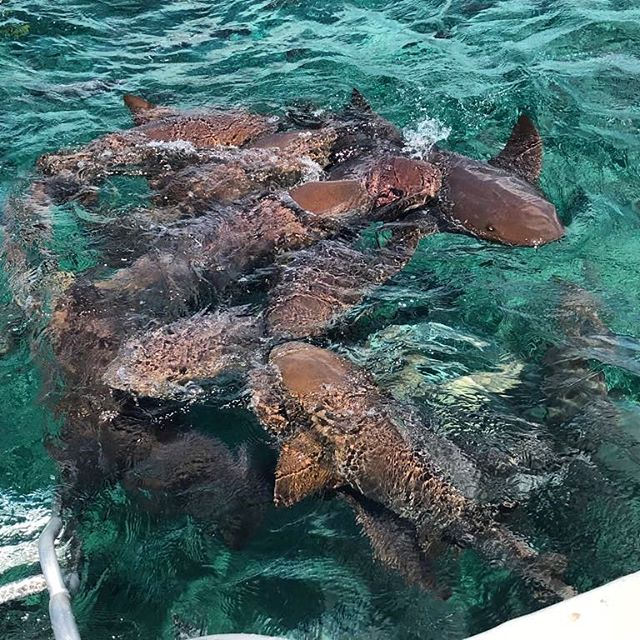 Feeling like you need to embrace some adventure? We can arrange that! Shark Ray Alley awaits in Belize for those willing to take the plunge into the waters with these most docile creatures! 🦈 #diamondlodgebz