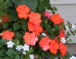 New Guinea Impatiens.jpg