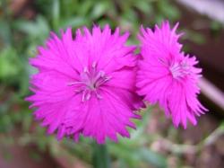 Dianthus China Pink Clavelina by Emilio Panizo.jpg