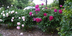 Peony - Peony produce absolutely massive numbers of large full blooms every single spring without fail.  Once established in full sun and well drained soil they require virtually no care.  You will have enough flowers to bring armloads in for vases.  Some gardeners prefer to clean up the plant by cutting back the stems of spent blooms, leaving behind a rich deep green shrub of foliage.  Every 15 to 30 years you may need to divide the plant if blooming diminishes.