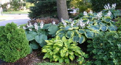 Hosta - Hosta are wonderful for shade gardens, adding a great variety of texture and color where shade makes it difficult to grow flowering plants.  Late spring brings tall stalks of lily like flowers of white, blue or lavender.  Most hosta require little or no care, but each variety has different preferences.  Make sure you select what you really need for your planting site to ensure required care is minimal.  Some tolerate dry shade, some prefer moist shade, some will put up with full sun and others will wilt under too much sun.  Most rarely need to be divided unless you want to produce more plants, some multiply on their own quite rapidly.