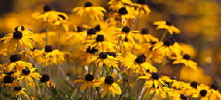 Black eyed susan - Black Eyed Susan, or Rudbeckia, are a touch native perennial that tolerates a wide range of conditions and neglect, and still blooms all season long.  Perennial Rudbeckia (there are also annual and bi-ennials) are very easy to grow and free of pests and disease.  They like reasonable good soil but are very tolerant of clay.  'Goldsturm' is a low maintenance favorite.