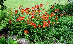 daylily - Daylily Hemerocallis  is often called ditch lilies for good reason.  The old fashioned daylily will multiply reasonably and are virtually indestructible.  They prefer full sun and well drained soil but really are not fussy about much of anything.  All daylilies will benefit from occasional dividing and perhaps just a little fertilizer in spring.  There are many new varieties that offer a multitude of different color options.  The newer varieties and hybrids  do not spread as quickly but some are not quite so tolerant of neglect and poor conditions.  And the reblooming daylilies will need deadheading to encourage new blooms.  But still a very low maintenance perennial.  Of the new varieties 'Stella de Oro' and 'Pardon Me' are among the easiest care.