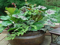 Heuchera--Green-Spice---Western-Maidenhair-Fern--and-Bergenia-cordifolia-saxifraga--Winterglut-.jpg