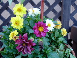 Potted-Dahlia-by-Daryl-Mitchell.jpg