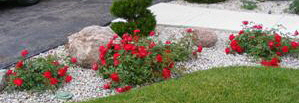Red-Ribbons-Ground-Cover-Rose-by-Midwest Gardening.jpg