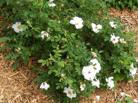 Henry Hudson Rugosa Rose by Midwest Gardening.jpg
