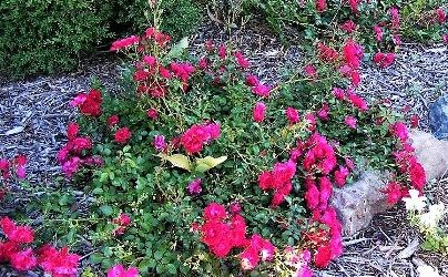 Continous Bloom Roses by Midwest Gardening.jpg