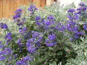 Blue-Mist-Caryopteris-by-Patrick-Standish.jpg