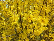 Forsythia-Mimosa-by-phileole.jpg