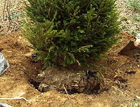 Evergreen-planting-hole.jpg