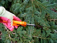 Tip-prune-evergreen-by-Midwest Gardening.jpg