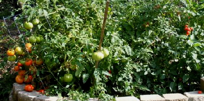 A-Tomato-Jungle-by Midwest Gardening.jpg