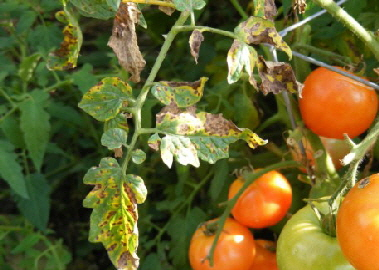 Bacterial-spot-Xanthomonas-vesicatoria-by Midwest Gardening.jpg