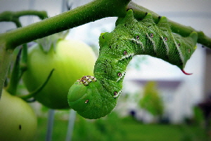 Tomato-Hornworm-by-Chris-Bede.jpg