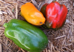 Sweet-Bell-Peppers by Midwest Gardening.jpg