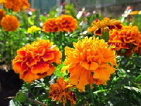 Marigolds-by-Meyer-sph.jpg
