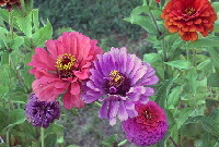 Zinnias-by-Duncan-Blackwood.jpg