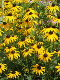 Black-Eyed-Susan-by-Tricia-Jay.jpg