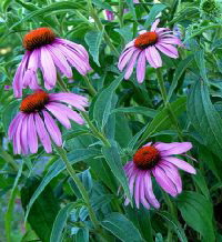 Purple-Coneflower-by-Terry-Bain.jpg