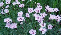 Dianthus-Pinks-by-Tiger-Lily.jpg