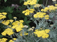 Yarrow-by-Susan-hemann.jpg