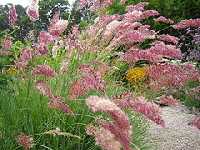 Pink-paintbrush-grass-Melinis-nerviglumis--Savannah-.jpg
