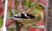 American-Goldfinch-by-Brian-Henderson.jpg