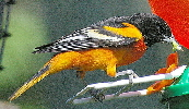 Baltimore-Oriole-by-Sean-Cuill.jpg