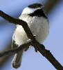 Black-Capped-chicadee-by-Alex-Ranaldi.jpg