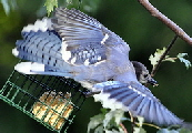 Blue-Jay-in-flight-by-likeaduck.jpg