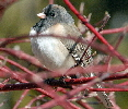 Dark-eyed-Junco-by-Dan-Dzurisin.jpg