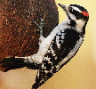 Downy-Woodpecker-by-Ed-Gaillard.jpg