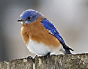 Eastern-Bluebird-by-Alex-Ranaldi.jpg