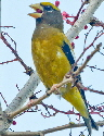 Evening-Grosbeak-by-Chuq-ui.jpg