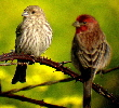 House-Finch-by-K-Schneider.jpg