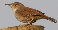 House-Wren-by-Dominic-Sherony.jpg