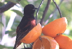 Orchard-Oriole-by-lost-in-fog.jpg