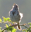 Song-Sparrow-by-Brian-Henderson.jpg
